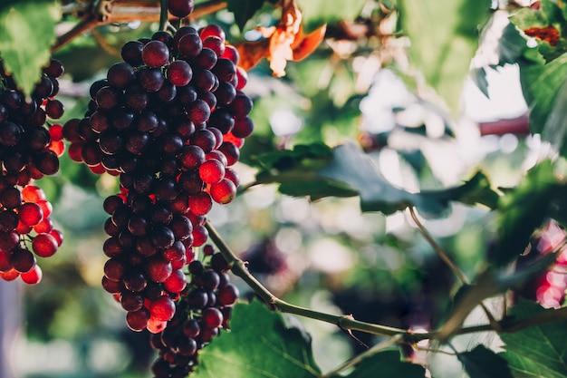 Cachos de uva ripen pendurados em videiras na fazenda Foto Premium