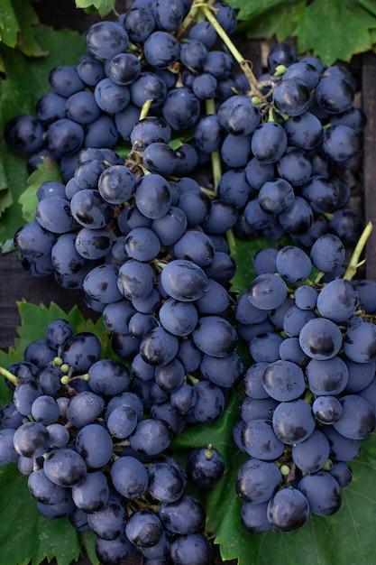 Cachos de uvas azuis em um fundo de folhas verdes close-up Foto Premium