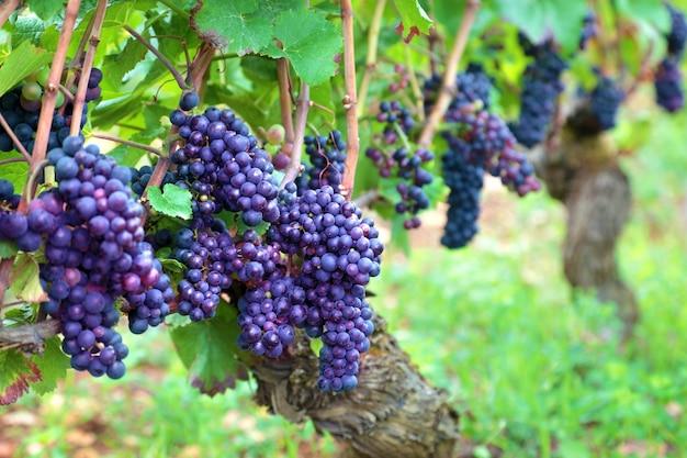 Cachos de uvas crescem em campos da frança Foto gratuita