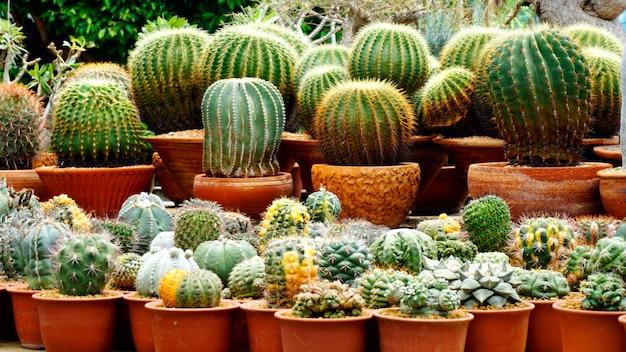 Cactus no viveiro cactus agricultural farm greenhouse jardim com luz solar Foto Premium