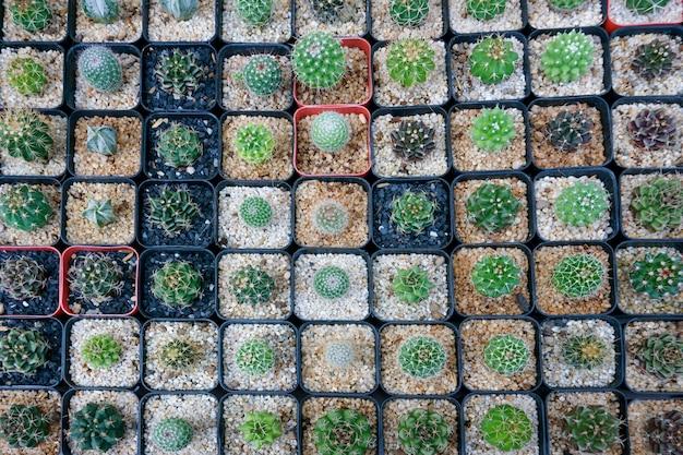 Cactus pequeno, existem muitas variedades em uma panela. colocado em muitos vasos pequenos vista superior Foto Premium