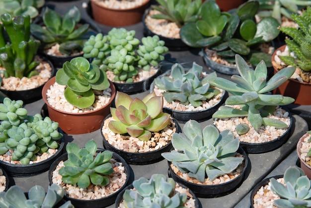 Cactus plantação suculenta no berçário, pequeno cacto em recipiente para venda Foto Premium
