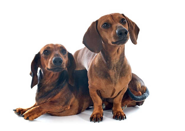 Cães dachshund Foto Premium