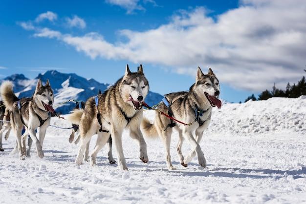 Cães de trenó em corridas de velocidade Foto Premium