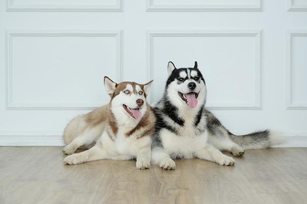 Cães husky deitado Foto gratuita