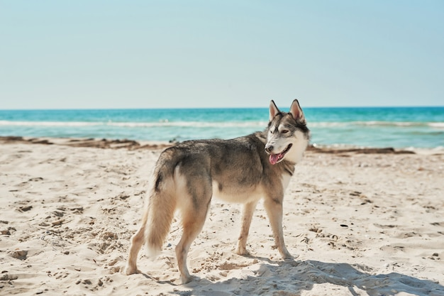 Cães husky na praia Foto Premium