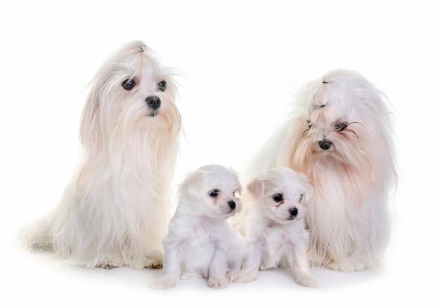Cães maltês da família Foto Premium
