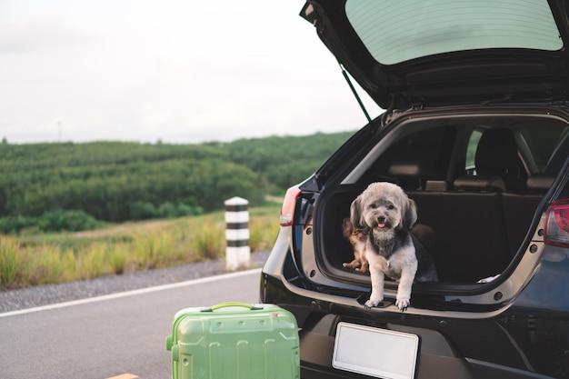 Cães misturados felizes da raça e da chihuahua que sentam-se no carro de tronco aberto. Foto Premium