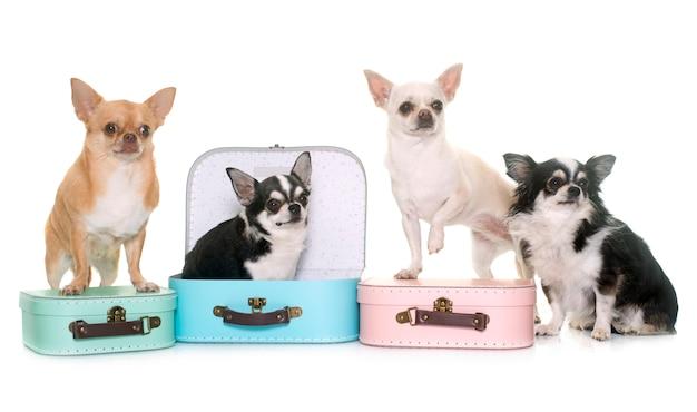 Caixa de papelão e chihuahua Foto Premium