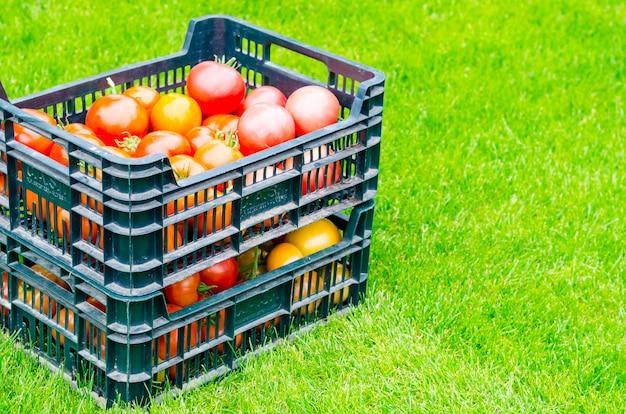 Caixas com tomates maduros ficar na grama, colheita, verão Foto Premium