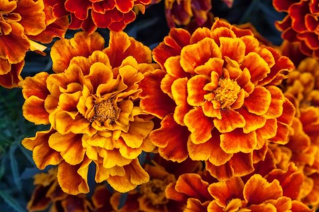 Calêndula amarela grande flores no jardim, vista superior Foto Premium