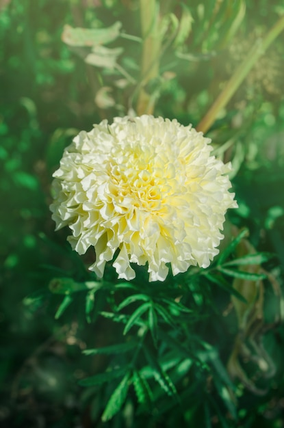 Calêndula cremosa branca bonita no jardim Foto Premium