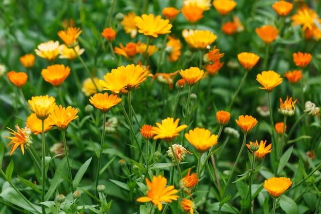 Calêndula crescente de flores, calêndula Foto Premium