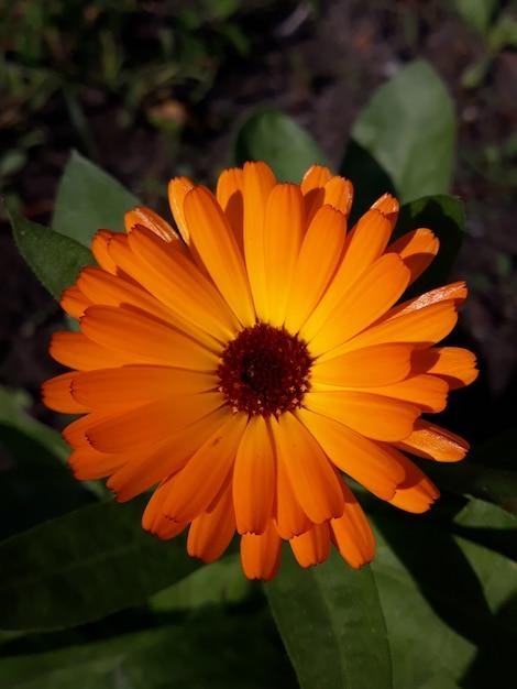 Calêndula. flor de calêndula com folha Foto Premium