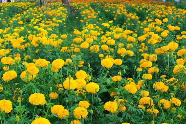 Calêndula flor Foto Premium