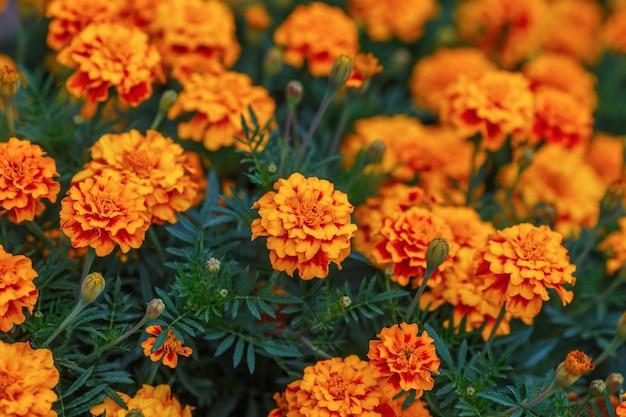 Calêndula laranja flores no jardim, superfície verde Foto Premium