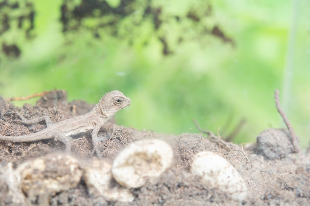 Camaleão tailandês no chão. renasce no solo. Foto Premium