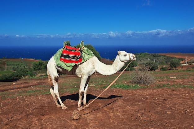Camelo branco na costa do mediterrâneo na argélia, áfrica Foto Premium