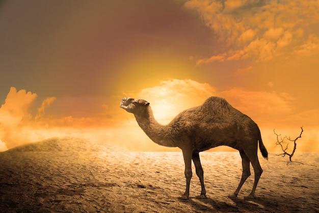 Camelo nas dunas de areia ao pôr do sol Foto Premium