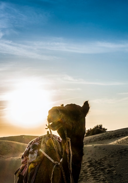 Camelo no deserto de thar, na índia de rajastão Foto gratuita
