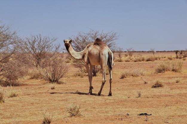 Camelo no deserto do saara do sudão Foto Premium