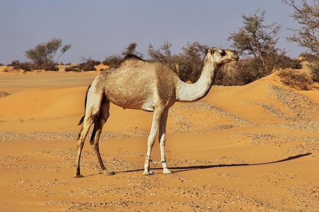 Camelo no deserto do saara no sudão, áfrica Foto Premium