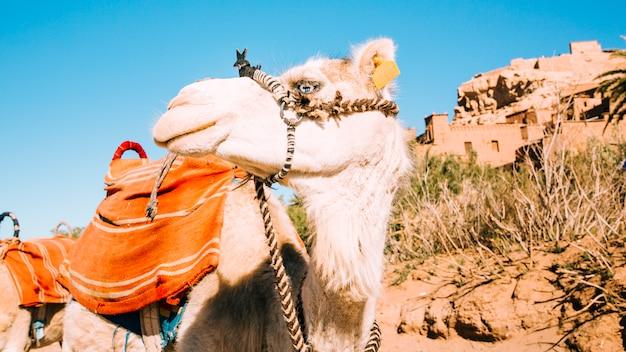 Camelo no deserto Foto gratuita