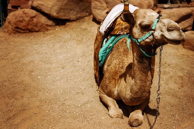 Camelo sentado em uma terra deserta Foto Premium