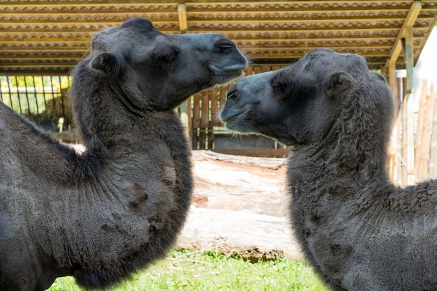 Camelos grandes no zoológico da ucrânia, animais selvagens. Foto Premium