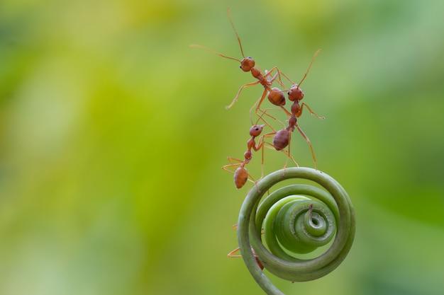 Caminhada de formiga na planta em espiral Foto Premium
