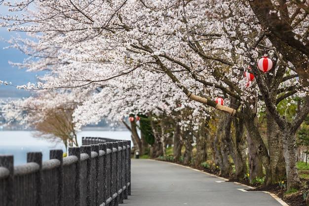 Caminho de flor de cerejeira no lago kawaguchiko durante o festival de hanami Foto Premium
