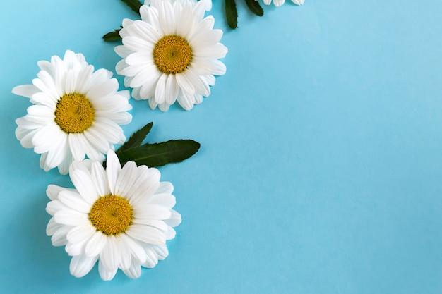 Camomila branca delicada em azul Foto Premium