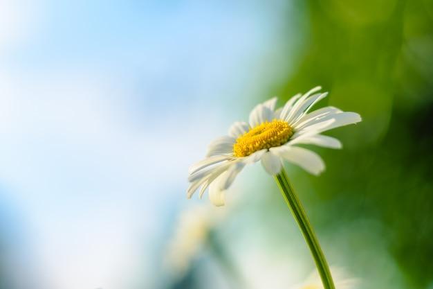 Camomila. flor desabrochando Foto Premium