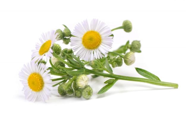 Camomila flor Foto Premium