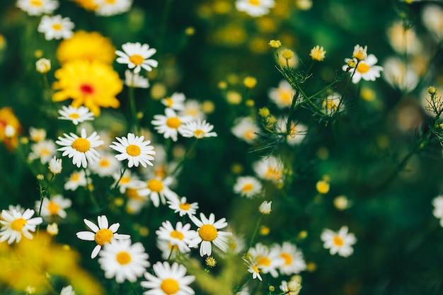 Camomila no jardim. flores brancas de margarida camomila Foto Premium