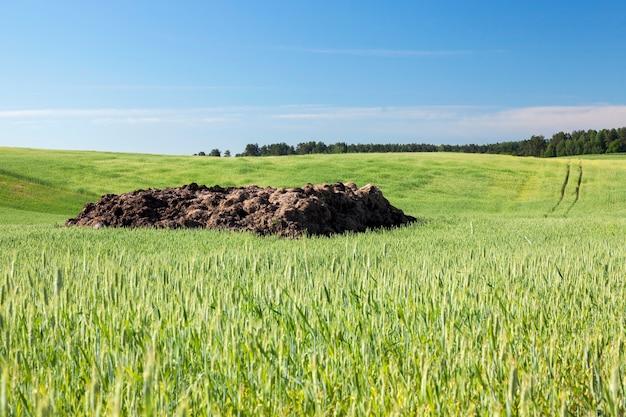 Campo agrícola no qual crescem cereais jovens imaturos, trigo. céu azul na superfície Foto Premium