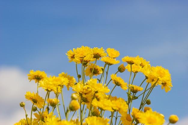 Campo amarelo do crisântemo nas nuvens brancas e no fundo do céu azul. Foto Premium