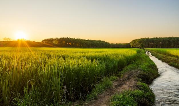 Campo arroz, com, amanhecer, ou, pôr do sol, em, moning, luz Foto Premium