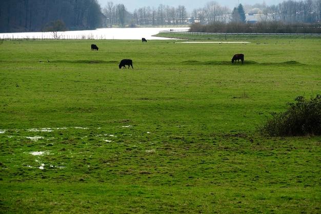 Campo coberto de vegetação cercado por vacas pastando sob a luz do sol durante o dia Foto gratuita
