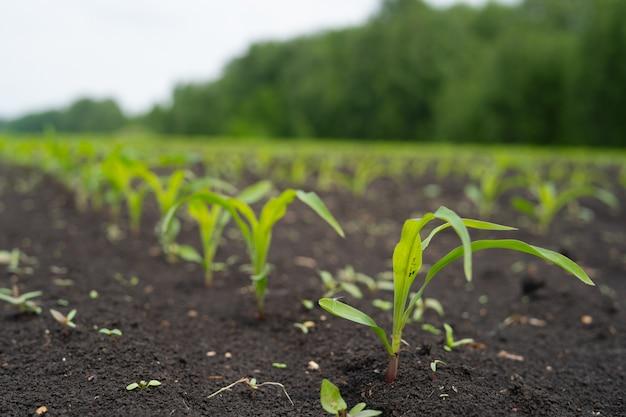 Campo de agricultor com jovens pequenos brotos de milho Foto Premium