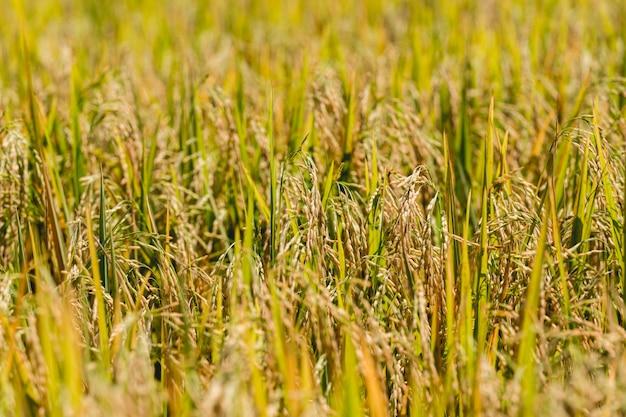 Campo de arroz dourado amarelo Foto Premium