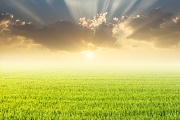 Campo de arroz e pôr do sol. Foto Premium