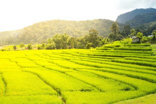 Campo de arroz em chiang mai, tailândia. Foto Premium