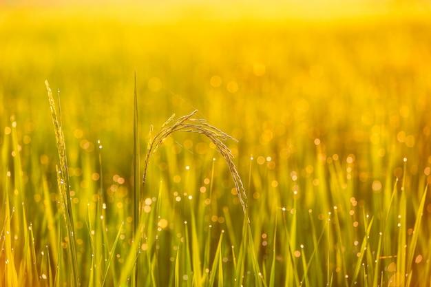 Campo de arroz verde na tailândia Foto Premium