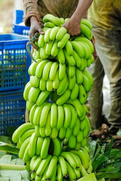 Campo de banana Foto Premium