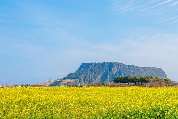 Campo de canola em jeju do seongsan ilchulbong, Foto Premium