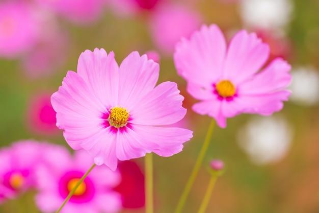 Campo de flor do cosmos Foto Premium