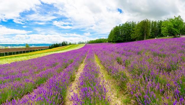 Campo de flor panorâmico da alfazema e céu azul em furano, hokkaido, japão. Foto Premium