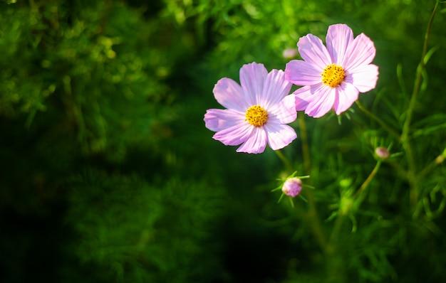 Campo de flores rosa e branco de verão na luz solar quente Foto Premium