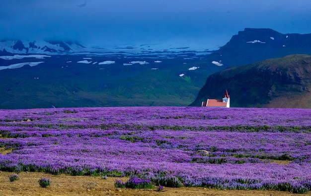 Campo de flores roxas com uma casa à distância perto de um penhasco e montanhas Foto gratuita